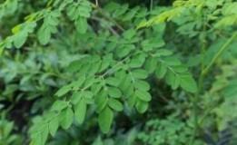 Chá de Moringa: Quais os Benefícios?