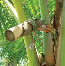 Colheita do néctar do coqueiro para produção do Coco Aminos ou Shoyu de Coco