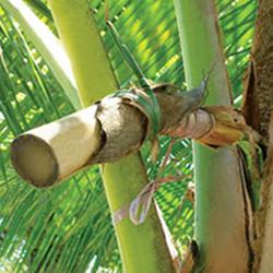 Extraindo do néctar de coco do talo da flor do coqueiro - Aí está os cachos amarrado e colocado o coletor do néctar bem abaixo
