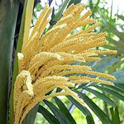 Flor de coco, onde extrai o néctar.