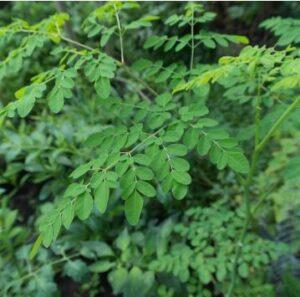 Para que Serve Moringa Oleifera e Seus Benefícios